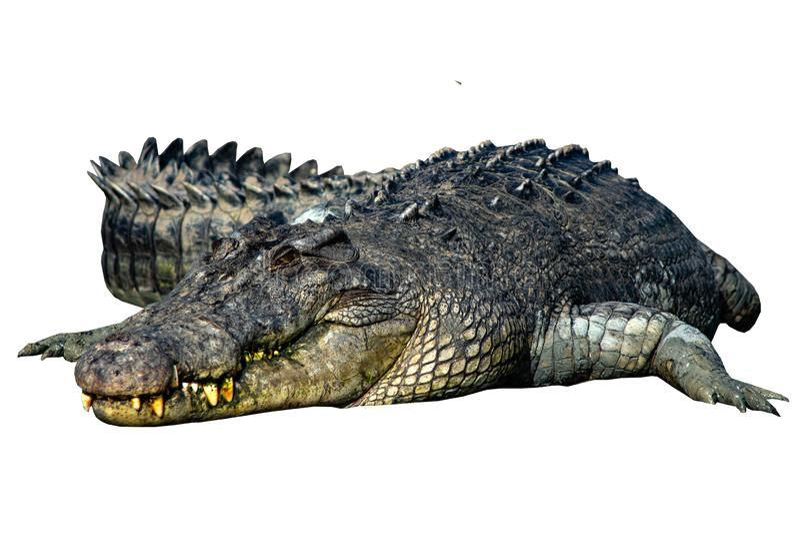 Крокодил изолированный на белой предпосылке стоковое изображение