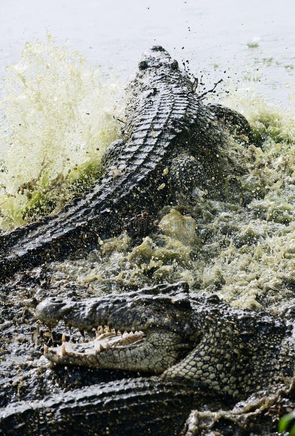 Крокодил кубинца бой стоковая фотография rf