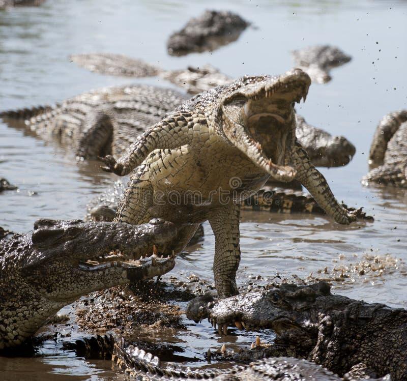 крокодил нападения стоковые фотографии rf