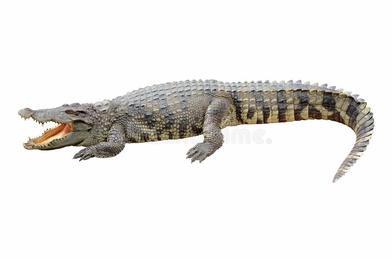 Крокодил на белой предпосылке. стоковые фотографии rf