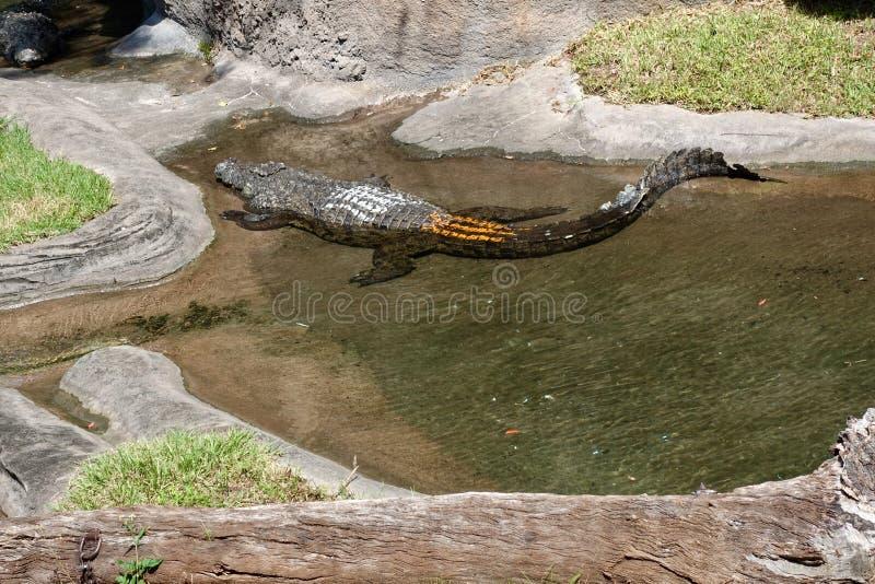 Крокодил на зоопарке стоковые изображения