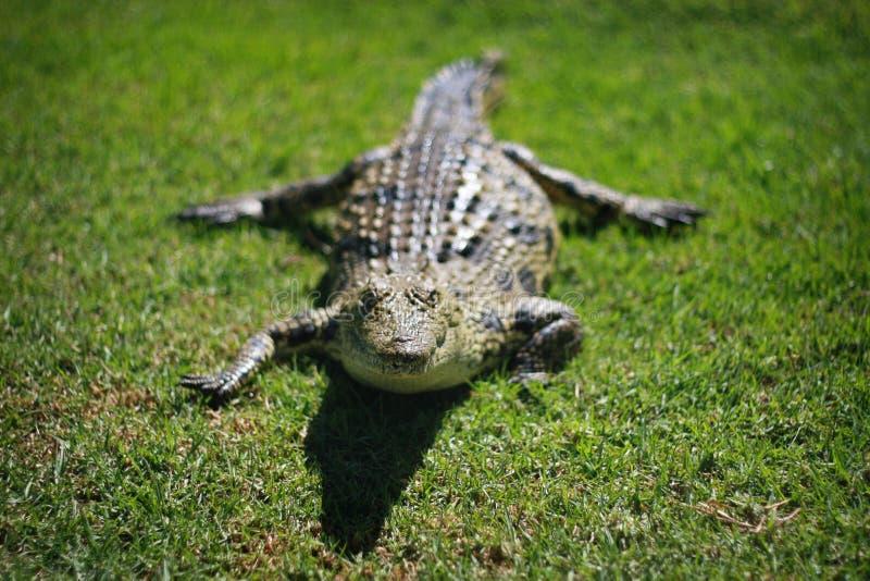 крокодил Нил стоковая фотография rf