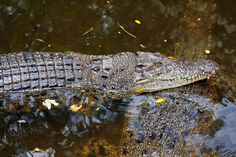 Download крокодил стоковое фото. изображение насчитывающей тварь - 6864906