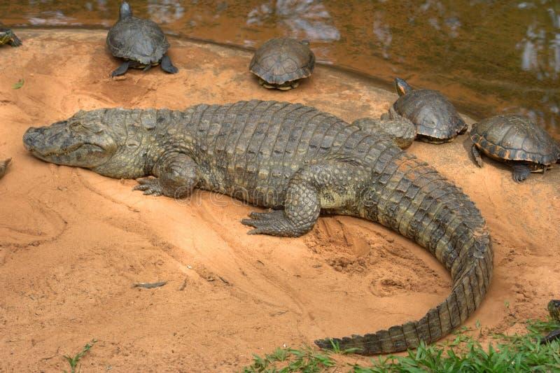 крокодил caiman америки Бразилии южный стоковая фотография rf