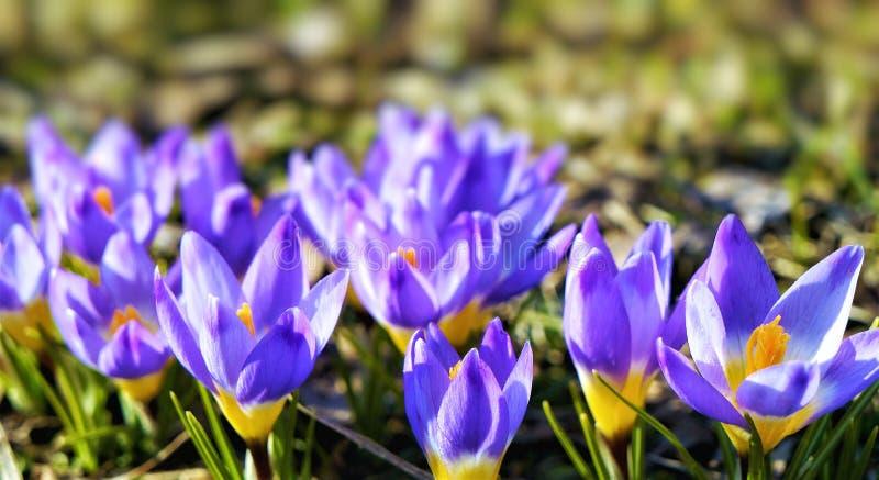 Крокосы свежие пурпурные цветы, близкие стоковое изображение rf