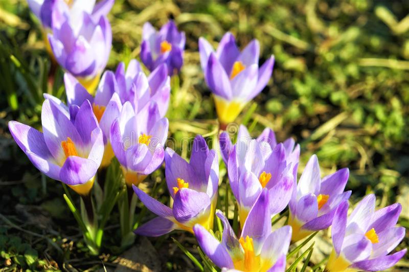 Крокосы свежие пурпурные цветы, близкие стоковое фото