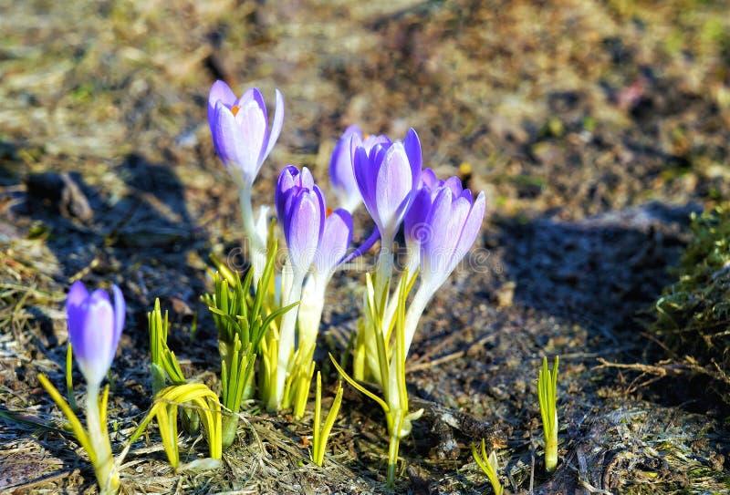 Крокосы свежие пурпурные цветы, близкие стоковые фото