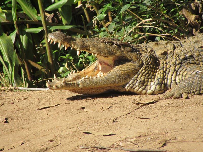 Крокодил Нила в Мадагаскаре стоковая фотография