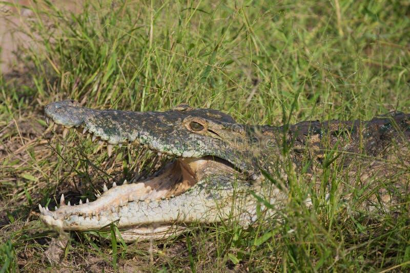 Крокодил Нила & x28; Niloticus& x29 крокодила; стоковые изображения rf