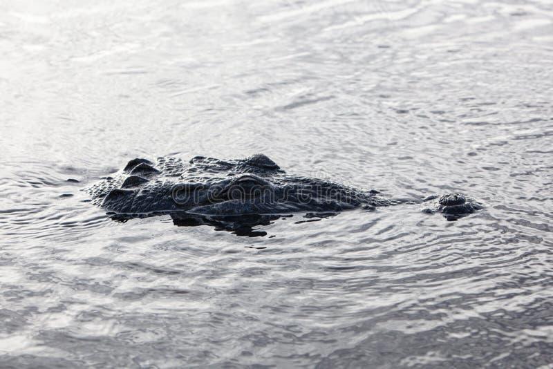 Крокодил отделывая поверхность в лагуне стоковое фото rf