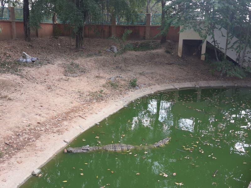 Крокодил плавал в пруде стоковое фото rf