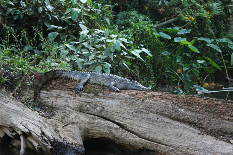 Крокодил спать сиамский стоковые изображения rf