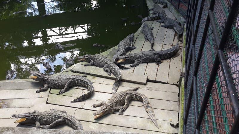 крокодил Таиланда стоковое изображение rf