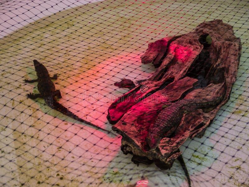 крокодилы молодые стоковое изображение rf