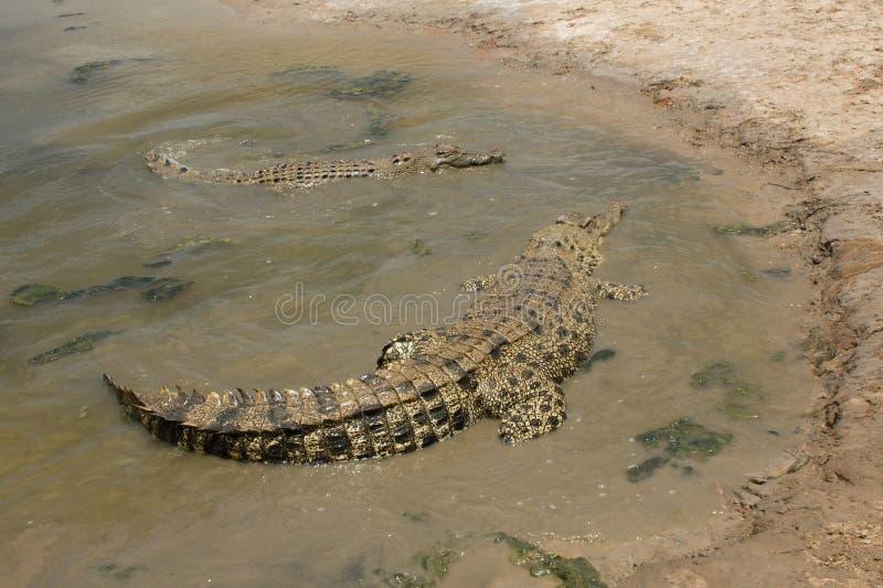Крокодилы соленой воды стоковое фото rf