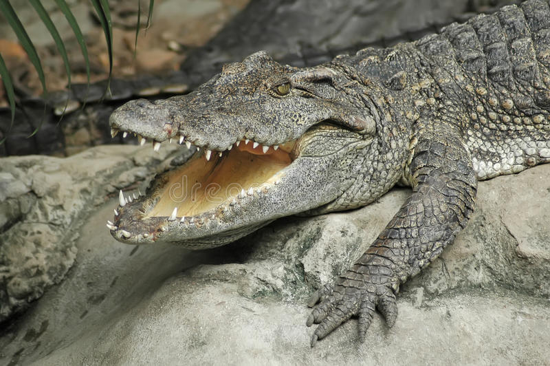 Download Крокодил стоковое изображение. изображение насчитывающей кожа - 33725301