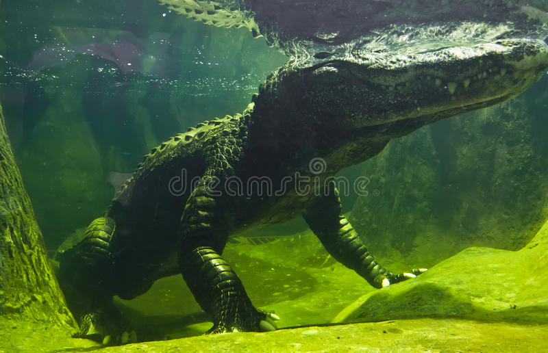 Download Крокодил стоковое изображение. изображение насчитывающей гад - 37929563