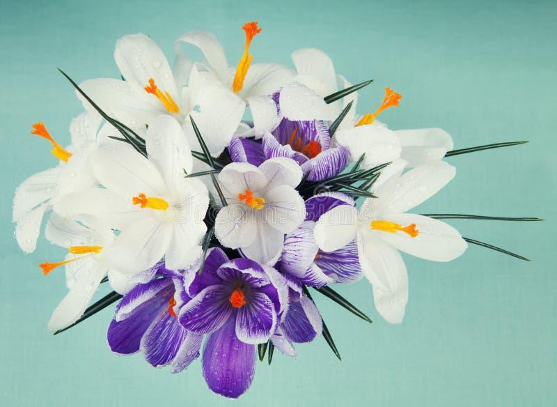Крокус весны цветет голубая предпосылка стоковые фото