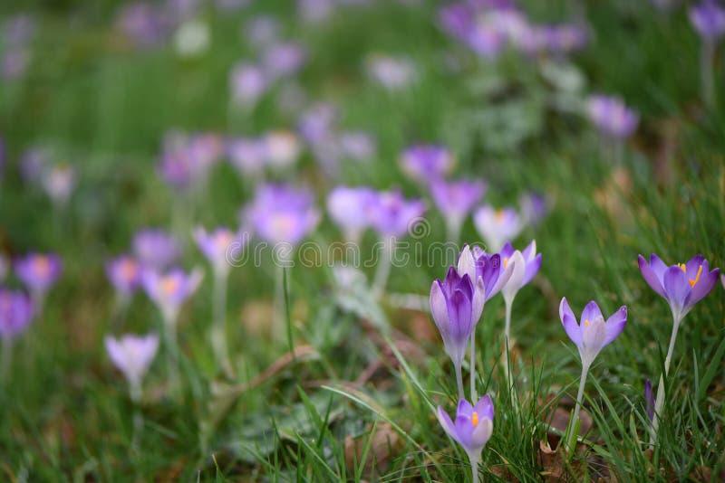Крокус красивого пинка времени весны фиолетовый цветет с оранжевым цветнем на зеленом поле или предпосылке луга флористической стоковое фото