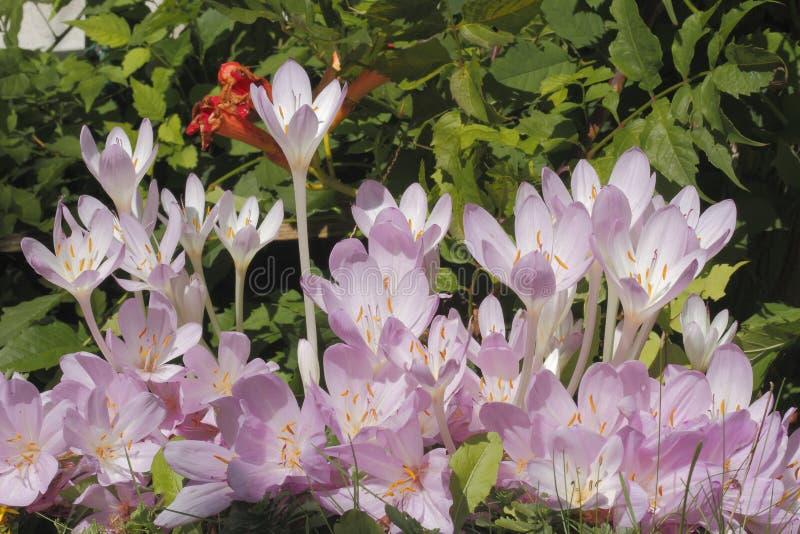 Крокус осени (autumnale безвременника) стоковая фотография rf