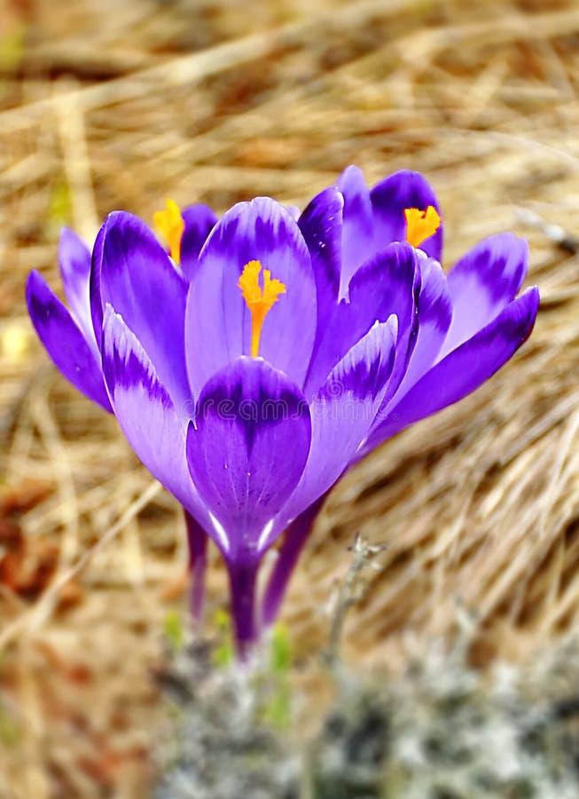 крокус цветет весна стоковая фотография