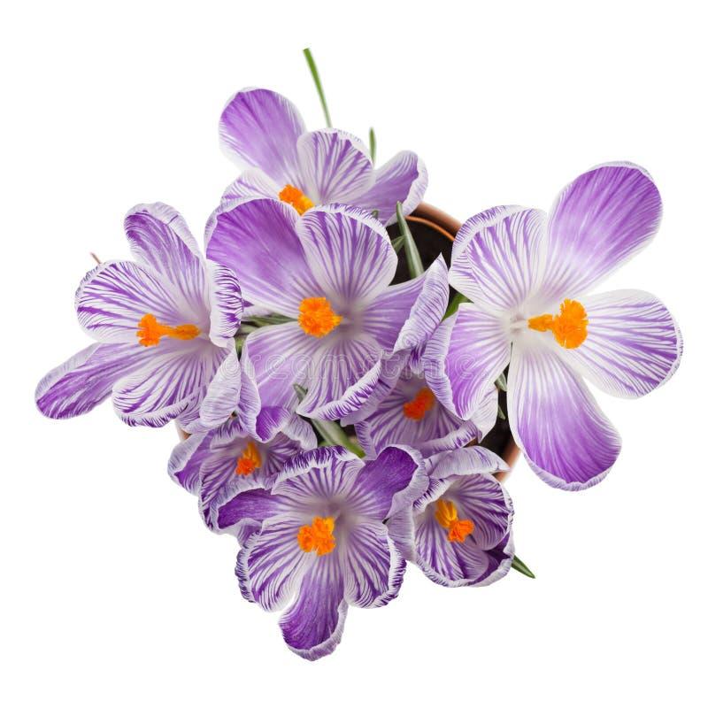 Download крокус цветет солнечность весеннего времени Стоковое Фото - изображение насчитывающей флора, естественно: 40584408