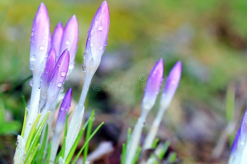 крокус цветет солнечность весеннего времени стоковые изображения