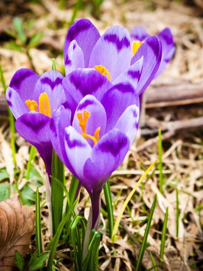 крокус цветет фиолет стоковые изображения