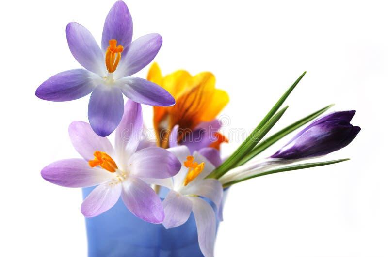 крокус цветет multi стоковое изображение rf
