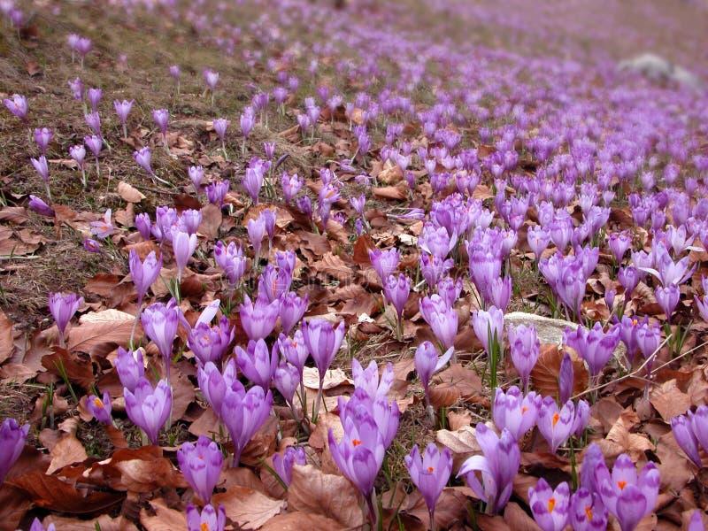 крокус fields весна стоковые изображения
