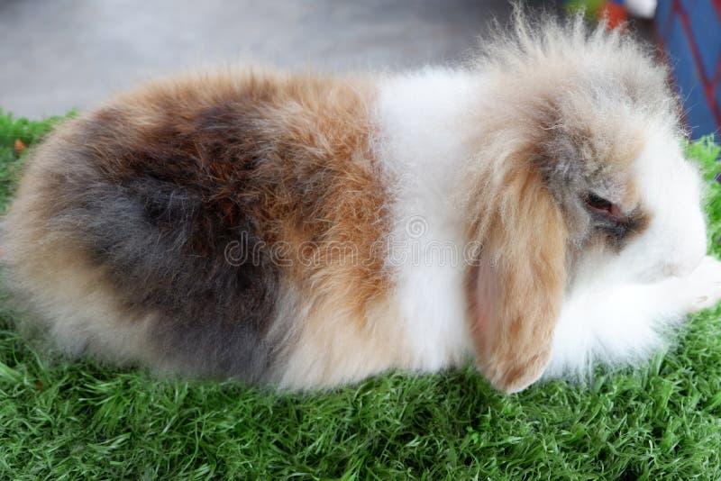Кролики - маленькие млекопитающие в семье Лепоридов ордена Лагоморфа, вместе с заяцем и пикой стоковое фото rf