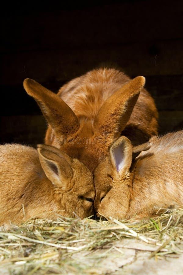 кролики малые стоковое изображение rf