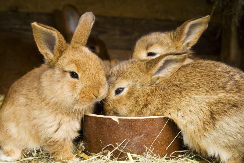 кролики малые стоковая фотография