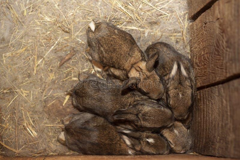 Кролики младенцев в теплом гнезде шерстей отжатых друг против друга стоковое фото rf