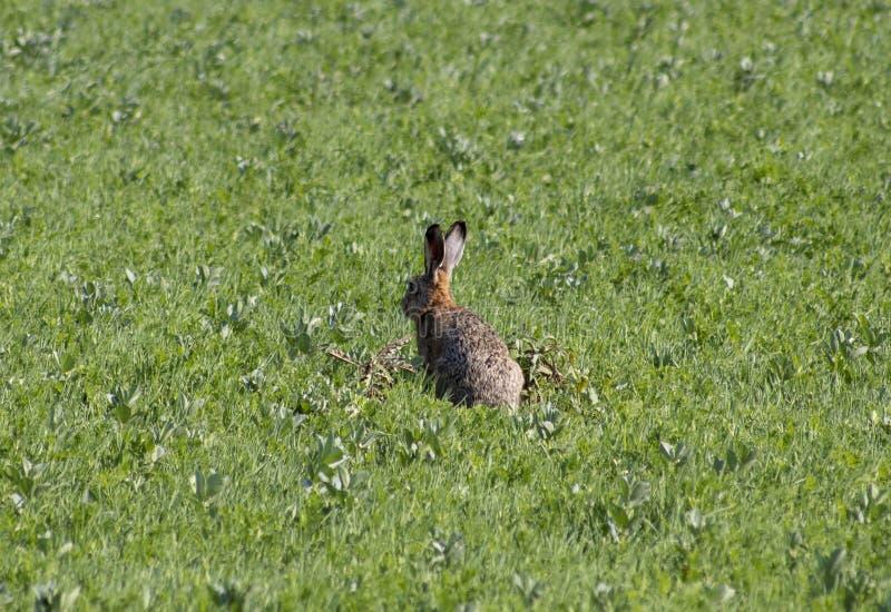 Кролик на поле стоковая фотография