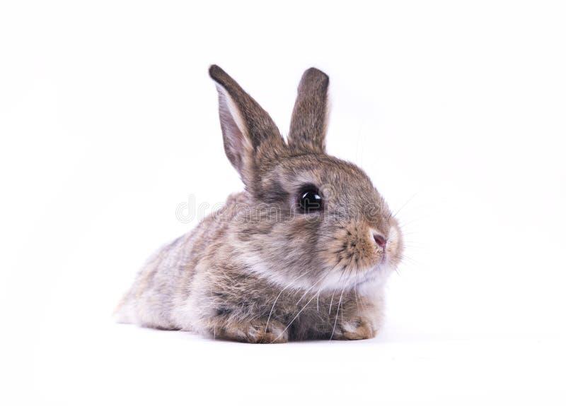 Download кролик стоковое изображение. изображение насчитывающей грызун - 18381773