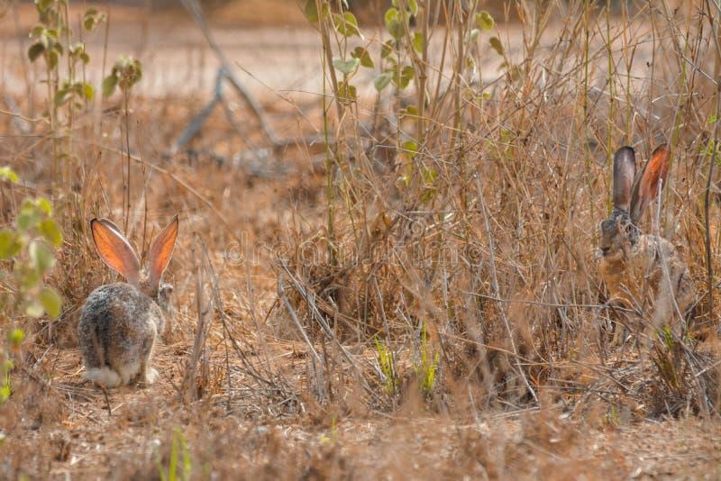 Кролик Cottontail в Джидде, Саудовской Аравии стоковая фотография rf