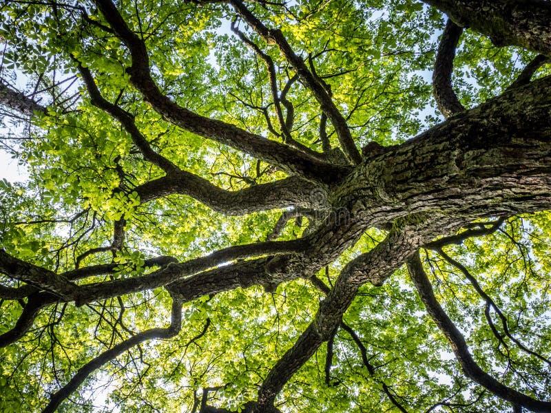 Крона дерева стоковая фотография rf