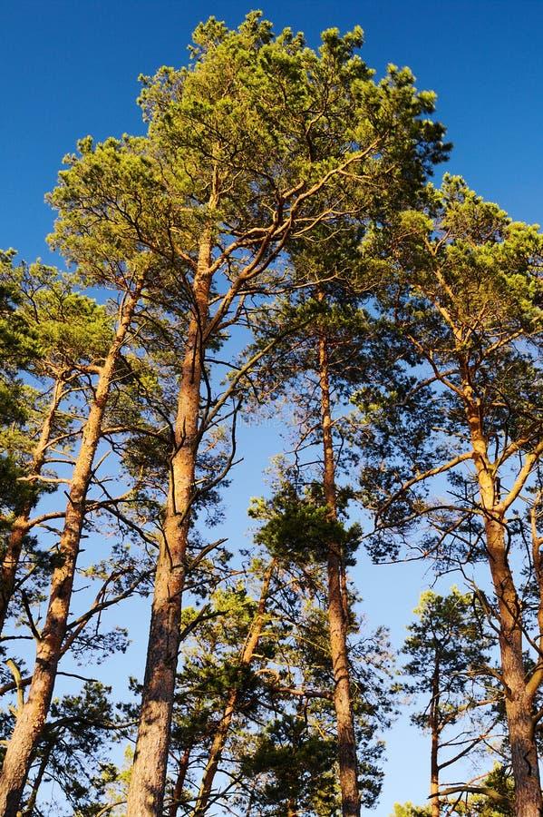 Кроны деревьев sylvestris Pinus Scots или шотландской сосны против голубого неба Группа в составе высокорослые сосны растя в вечн стоковая фотография rf