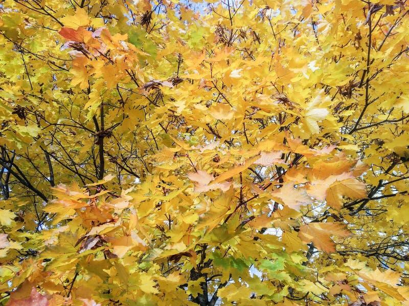 Крон желтых и зеленых листьев стоковое фото