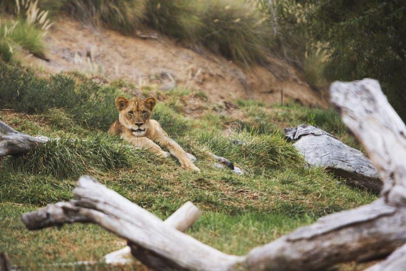 Крошечная львица стоковая фотография rf