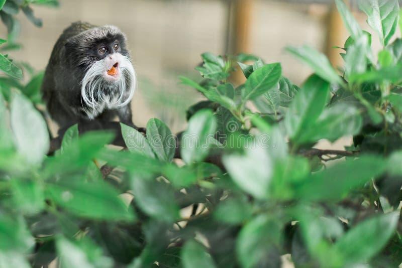 Крошечная маленькая обезьяна вставляя свой язык вне стоковое фото rf