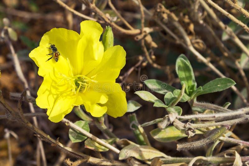 Крошечная пчела на желтом выравниваясь первоцвете стоковая фотография rf