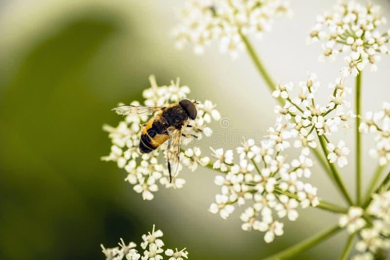 Крошечная пчела на белом цветке стоковые фотографии rf