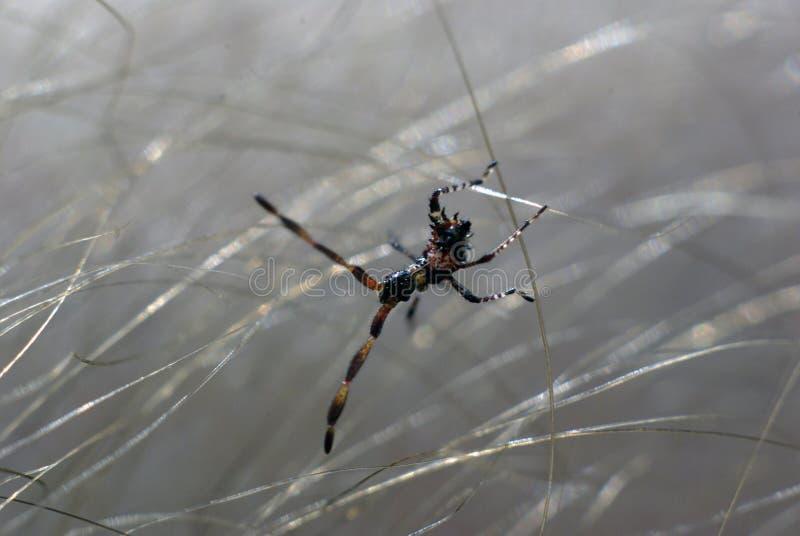 Крошечное насекомое между волосами стоковые изображения rf