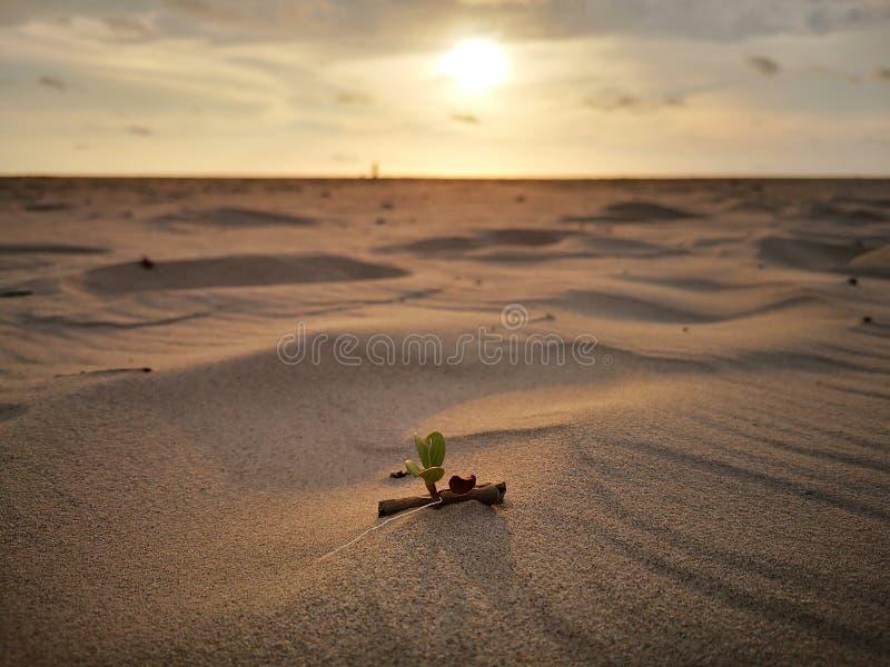 Крошечные лист цветка славы утра, который выросли на песчаном пляже с предпосылкой взгляда захода солнца стоковая фотография rf
