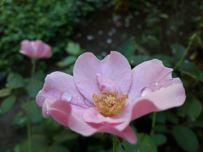 Крошечные падения воды на цветке розы стоковые фотографии rf