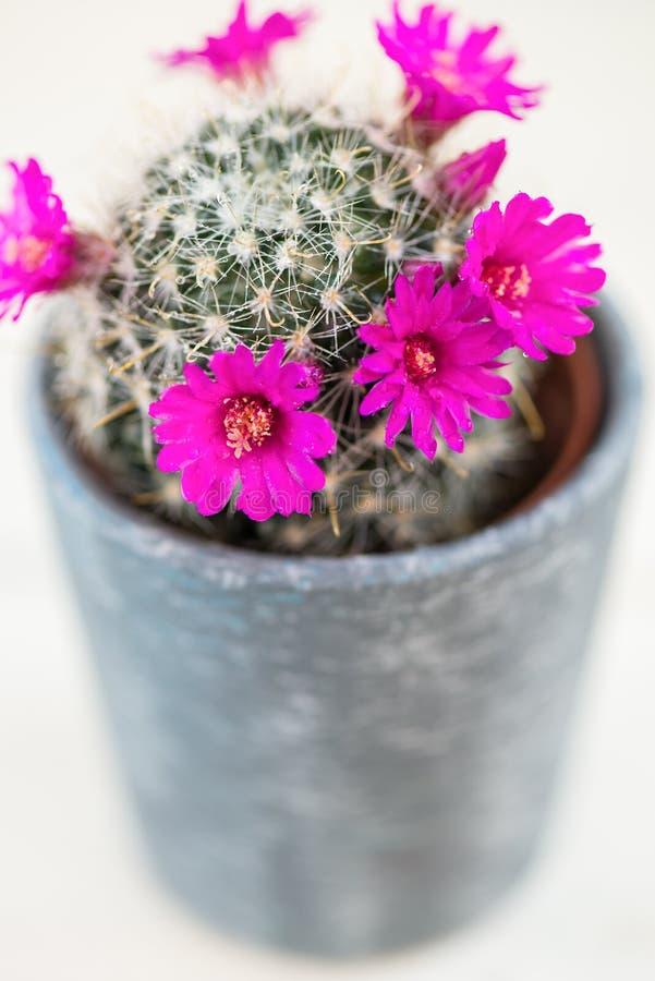 Крошечный зацветая кактус в баке стоковые изображения rf