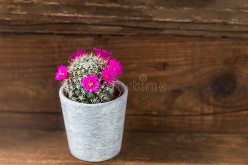 Крошечный кактус с цветками мадженты зацветая в баке стоковые изображения rf