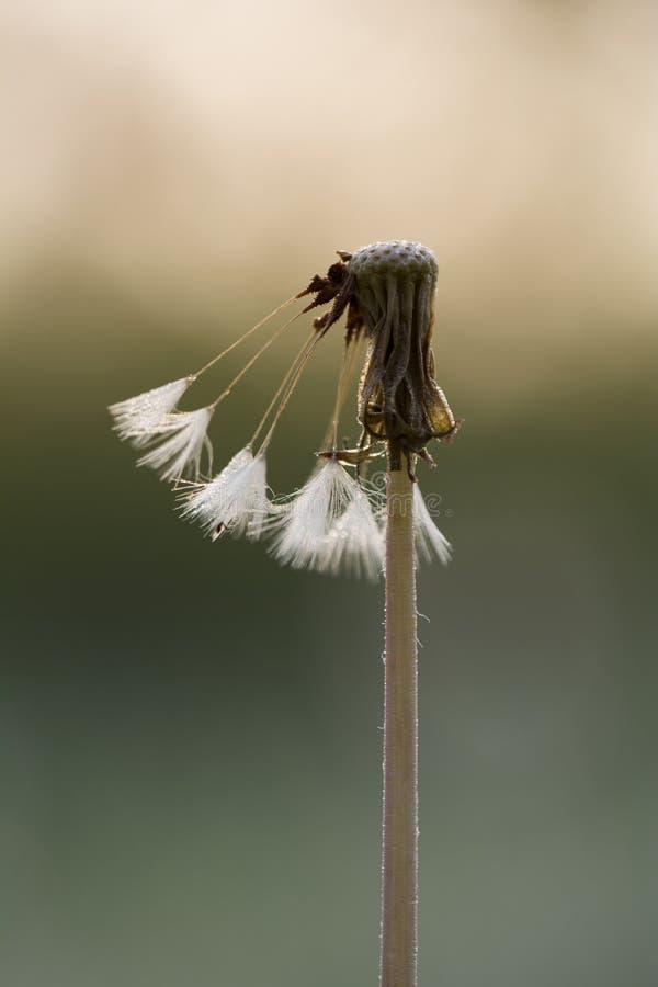 Download Крошечный макрос одуванчика весны Стоковое Фото - изображение насчитывающей одуванчик, glade: 40582562